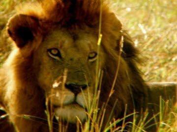 masai-mara-lion-2009